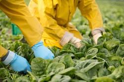 Gemüseernte mit den Händen am Feld