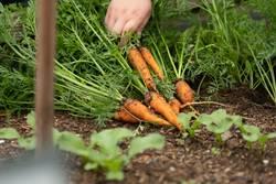 Bauer bei der Karottenernte von frischen Karotten im Freien