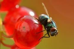 Fliege auf roter Beere