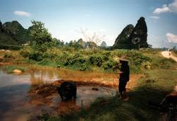 Wasserbüffel wollen baden