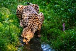 African leopard drinks water from the stream.