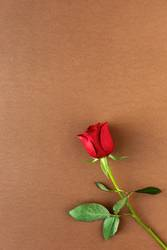 red roses with brown background