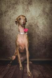 Studio portrait of little italian greyhound dog.