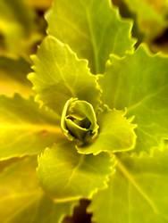 grüne rosette