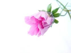 Rosa Entfaltung (3)
