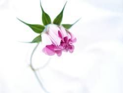 Rosa Entfaltung