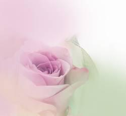 ein Hauch Rose