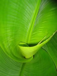 Bananen-Palme
