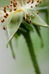 Rose grün - I