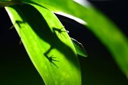 *Gecko *Ganz *Grün