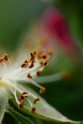 Rose grün - IV
