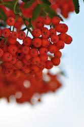 Vogel-Berries