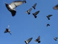 Tauben fliegen dolle