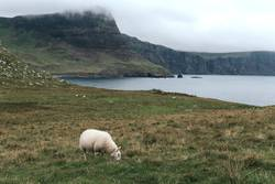 Sheep eating on nice green cliff next to the sea on cloudy day