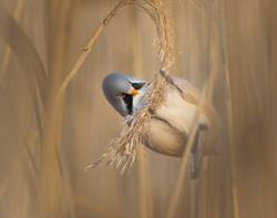 Male bearded reedling in the reeds