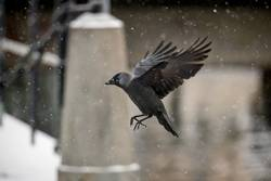 flying jackdaw in snowfall