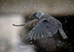 flying jackdaw crow in heavy snowfall