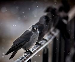 jackdaw sitting on rail in snowfall