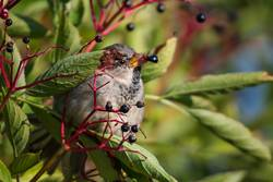 house sparrow eating aronia - chokeberries