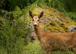 roe deer (doe) looking at camera