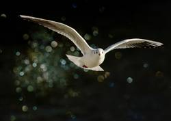 flying seagull in winter