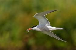Common tern in flight with small fish for its babies