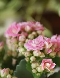 Rosa's rosa Zimmerpflänzchen