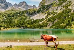 Bergsee-Panorama mit Kuh (und Enten)