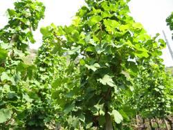 Weintrauben am Hang in der Sonne