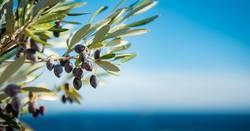 1300* Olivenzweige am Mittelmeer