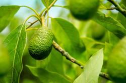 Reife Avocado am Baum
