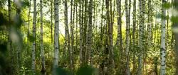 Sommer im Birkenwald in Finnland | Panorama