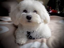 Cute bichon maltese with mope tie