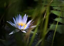 Eine blaue Seerose