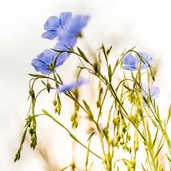 Himmelblaue Blüten