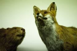Fuchs und Biber