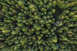 europäischer nadelwald von oben