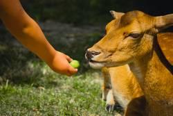 Firlefanz / dem Reh einen Apfel geben mit Kinderhand