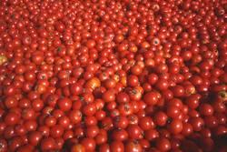 Tomaten satt