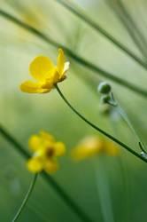 Butterblumenwiese
