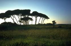 Pinien in der Toskana