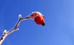 Frostüberzogene Hagebutte
