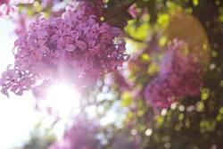 Hübsches lila Rosa