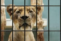 Lion in grid
