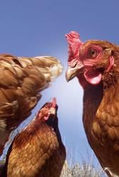 hühner-meeting