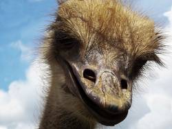 laughly Ostrich