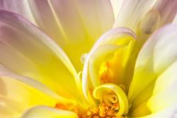 Tropfen im Blumeninneren