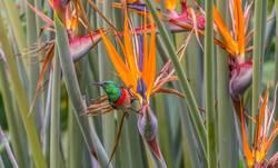Kolibri II