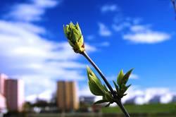 Frühlingsknospe