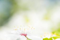 White flowers on a blossom cherry tree with soft background
